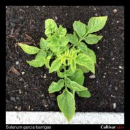 Solanum garcia-barrigae plant