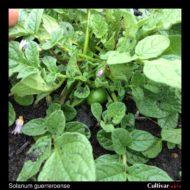 Solanum guerreroense berry