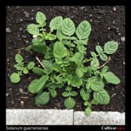Solanum guerreroense plant