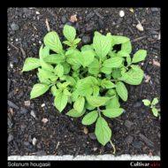 Solanum hougasii plant