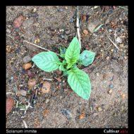 Solanum immite plant