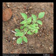 Solanum laxissimum plant