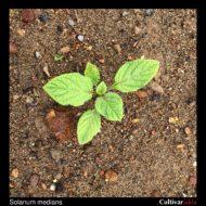 Solanum medians plant