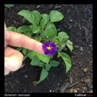 Solanum neorossii flower