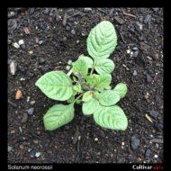 Solanum neorossii plant