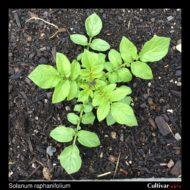Solanum raphanifolium plant