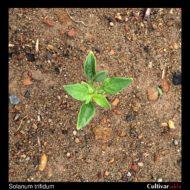 Solanum trifidum plant