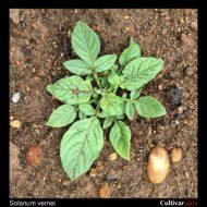 Solanum vernei plant