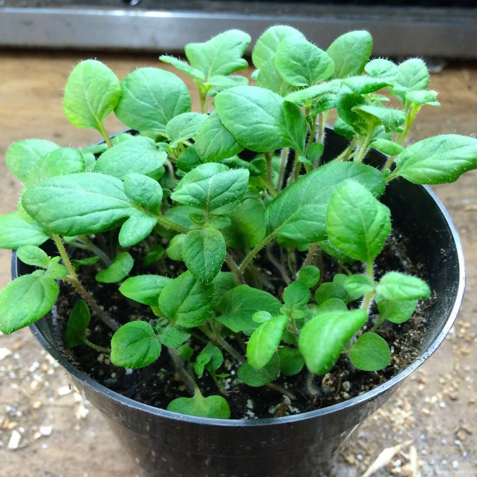 Potato (TPS) Seedlings