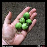 Solanum acaule berries