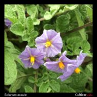 Flower of the wild potato species Solanum acaule