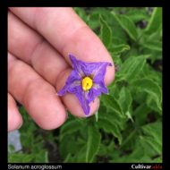 Solanum acroglossum flower