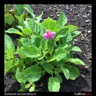 Solanum acroscopicum plant