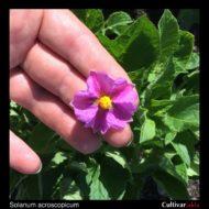 Solanum acroscopicum flower