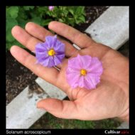 Solanum acroscopicum flowers