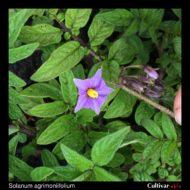 Solanum agrimoniifolium flower