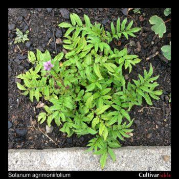 Solanum agrimoniifolium plant