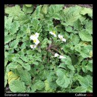 Solanum albicans inflorescence