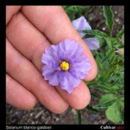 Solanum blanco-galdosii flower