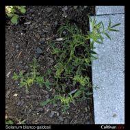 Solanum blanco-galdosii plant