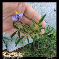 Solanum blanco-galdosii inflorescence