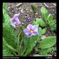 Solanum boliviense flower