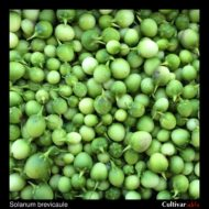 Solanum brevicaule berries