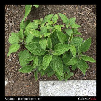 Solanum bulbocastanum plant