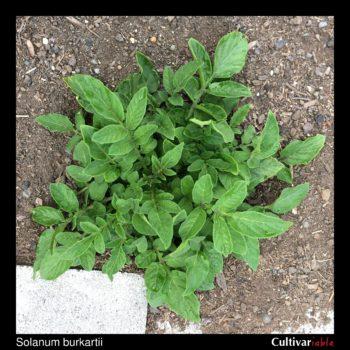 Solanum burkartii plant