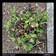 Solanum clarum plant