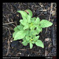 Solanum ehrenbergii plant