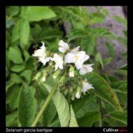 Solanum garcia-barrigae flowers