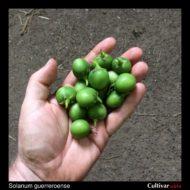 Solanum guerreroense berries