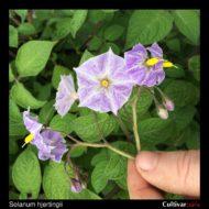 Solanum hjertingii inflorescence