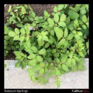 Solanum hjertingii plant