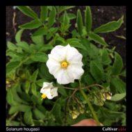 Solanum hougasii flower