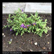 Solanum infundibuliforme plant