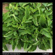 Solanum microdontum plant
