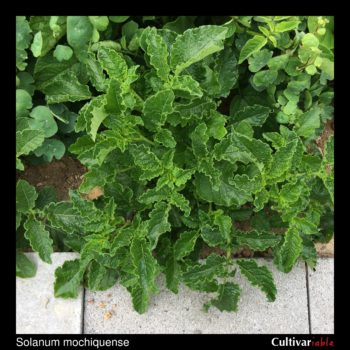 Solanum mochiquense plant