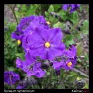Solanum raphanifolium flower