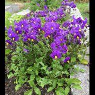 Solanum raphanifolium flowers