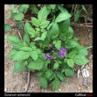 Solanum schenckii plant