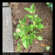 Solanum stipuloideum plant