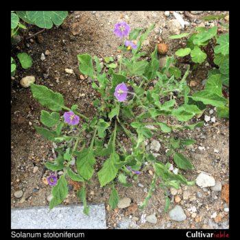 Solanum stoloniferum plant