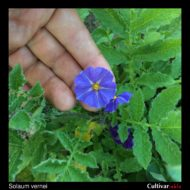 Solanum vernei flower