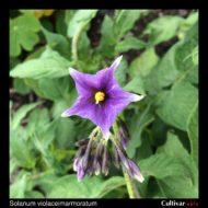 Solanum violaceimarmoratum flower