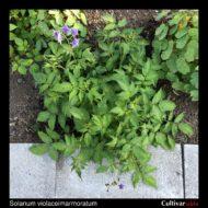 Solanum violaceimarmoratum plant