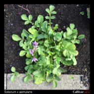 Solanum x aemulans plant
