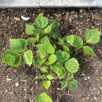 Above ground plant of ahipa (Pachyrhizus ahipa)