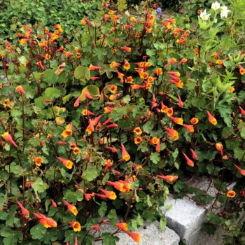 Flowers of the mashua (Tropaeolum tuberosum) variety'Ken Aslet'